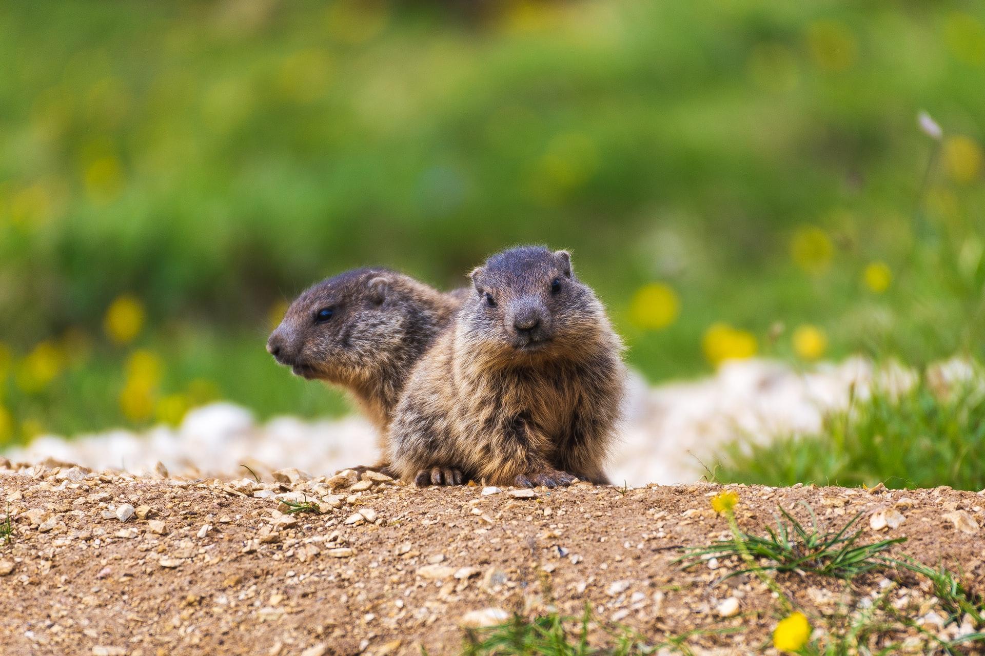 Le marmotte della Val Gardena